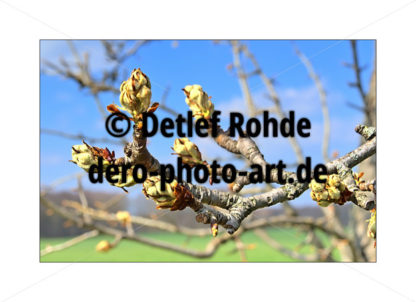 Chestnut buds - DeRo Photo Art