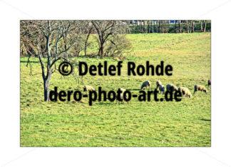 Sheep - DeRo Photo Art